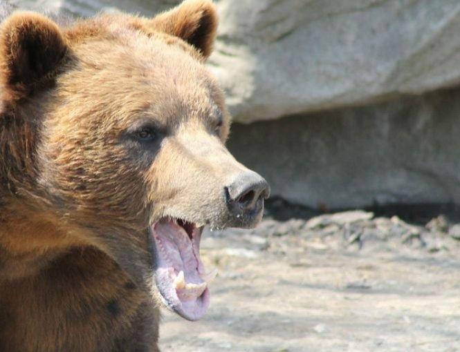 O femeie este în stare gravă după ce un urs i-a smuls braţul şi i l-a mâncat. S-a întâmplat la petrecerea de Crăciun