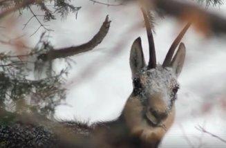 Imagini rare cu caprele negre din Parcul Național Piatra Craiului - VIDEO
