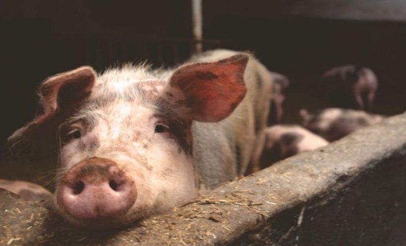 Pesta porcină africană a ajuns și în Bistrița-Năsăud