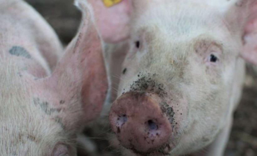 Virusul pestei porcine africane pare de neoprit. A fost confirmat la porcii din gospodării din Timiş şi Arad