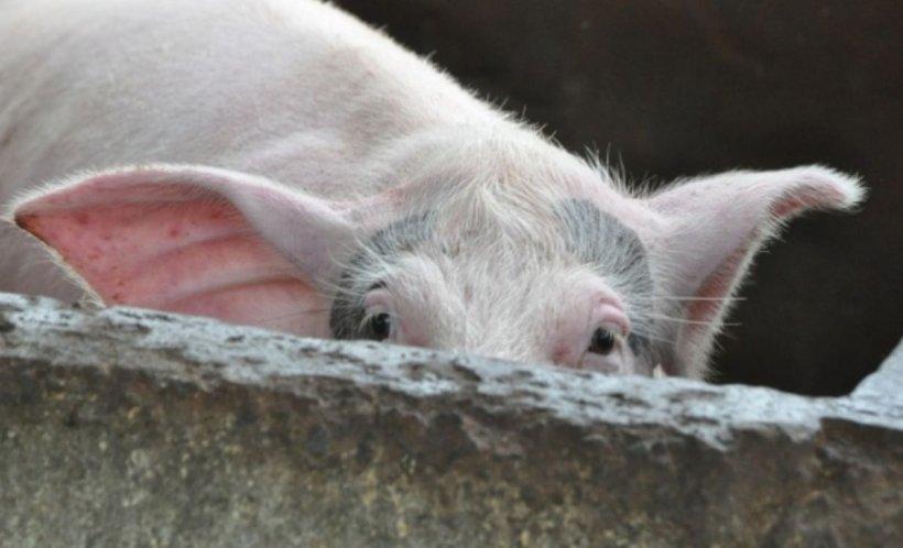 Alarmant! Pesta porcină africană a ajuns în 21 de județe