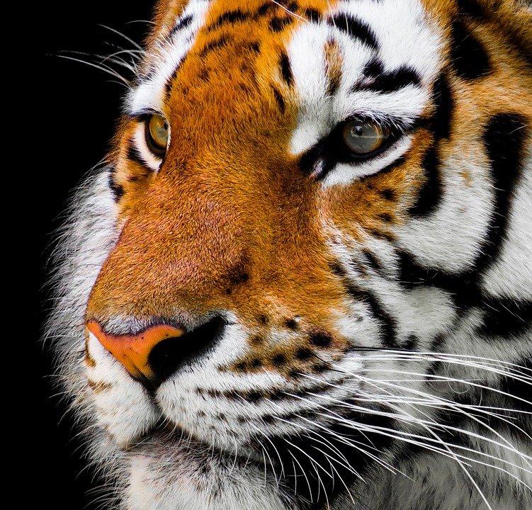 Tigrii cu dinți sabie și țestoase, descoperite de arheologi în Vaslui