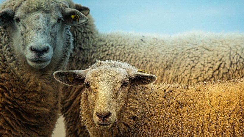 România reia exporturile de carne de oaie şi ovine în Iran. În şase luni vor fi exportate circa 800.000 capete