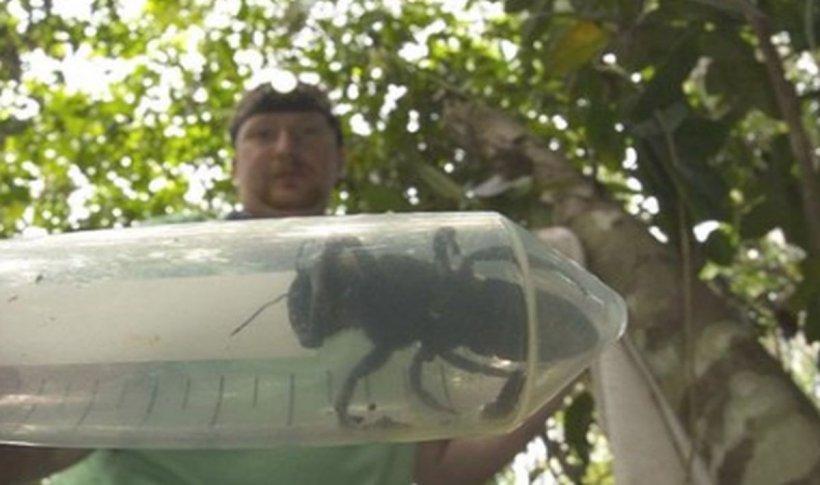 O echipă de cercetători a descoperit cea mai mare albină din lume. Ce dimensiuni are și unde trăiește insecta-gigant