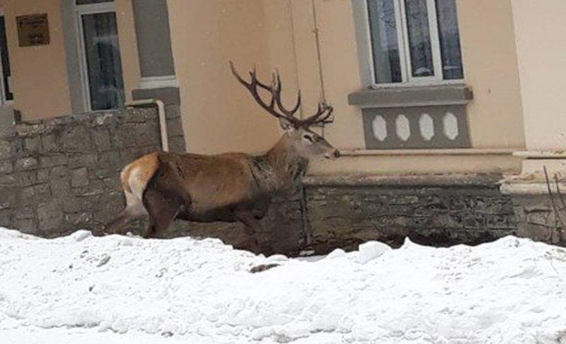 Un cerb a ajuns în curtea Spitalului Azuga. Animalula fost rănit de un urs și de mai mulți câini - FOTO