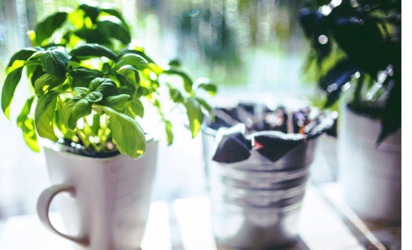 Planta care este recomandată ca odorizant natural. Purifică foarte bine aerul
