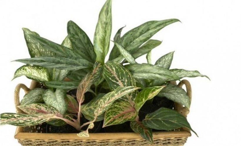Atenție! Această plantă poate ucide un copil în mai puțin de un minut