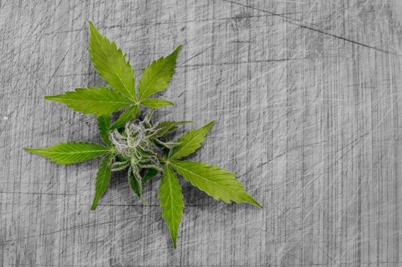 Canabisul ar putea fi legalizat în scop medicinal România. Anunțul a fost făcut de ministrul Finanțelor