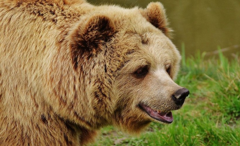 Surpriză de proporții pentru pacienți. Un urs a coborât în curtea spitalului. Imaginile au fost înregistrate