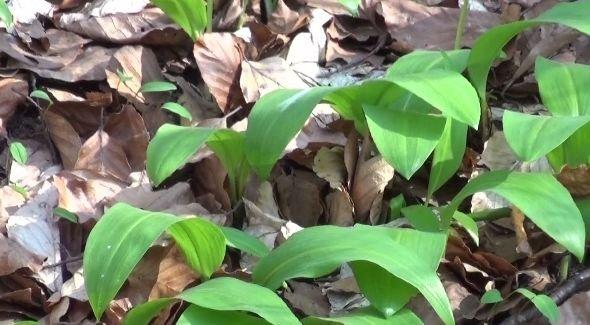 Agricool. Leurda, planta medicament din pădure. Medicii recomandată să o consumăm pentru detoxifiere