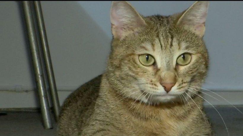 Sirponeta, vedeta Poliţiei Capitalei. Pisica este celebră pe reţelele de socializare - VIDEO