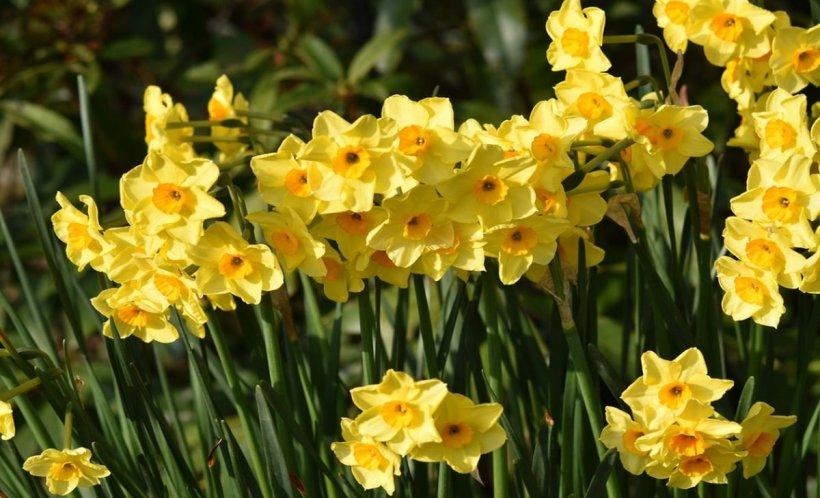 Această plantă care se vinde la toate florăriile din România e foarte toxică
