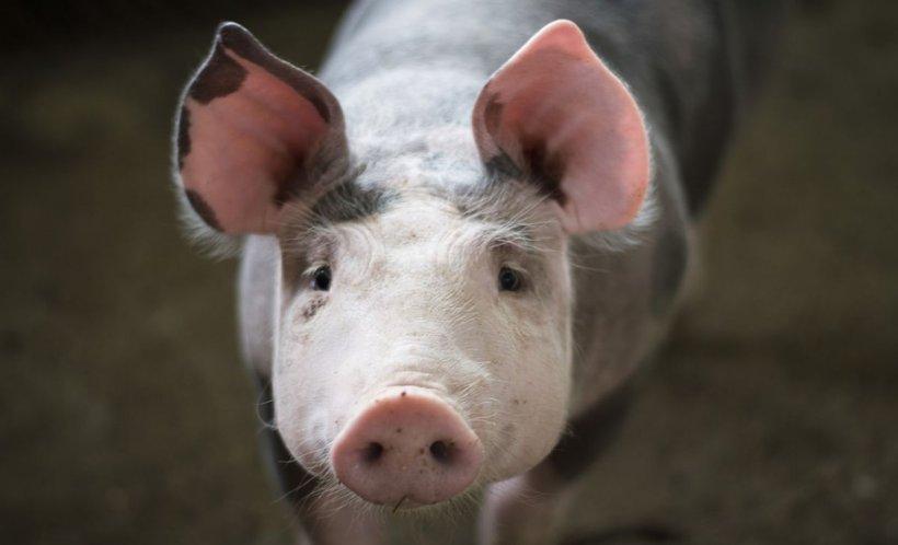 """Cercetătorii au """"repornit"""" creierul unui porc la câteva ore de la sacrificare"""