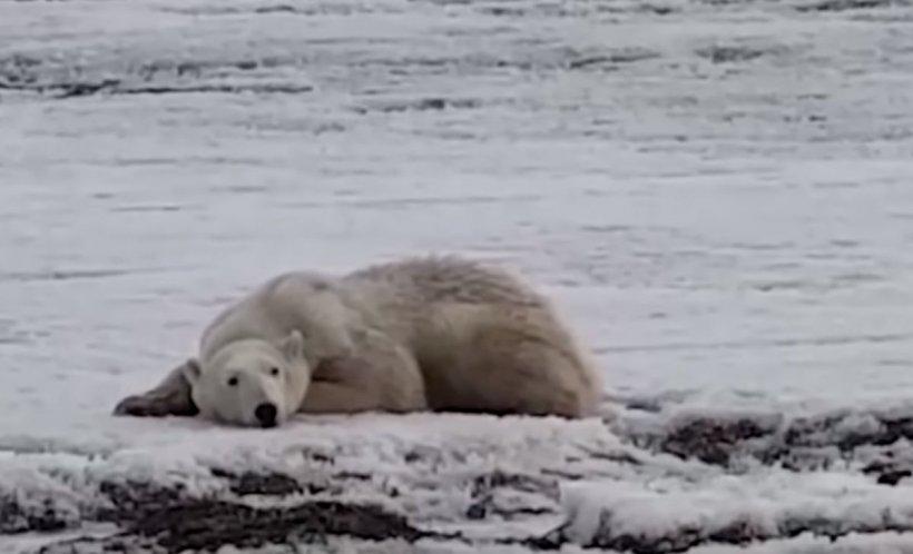 Locuitorii unui sat din Rusia au avut un șoc când au văzut un urs polar plimbându-se pe străzi, în căutare de mâncare. Călătorise peste 700 de kilometri, era slab și complet epuizat - VIDEO