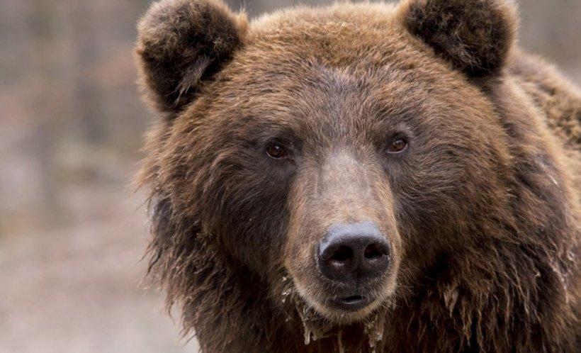 Scene şocante în comuna buzoiană Colţi! Primarul filmat când batjocoreşte cadavrul unui urs - VIDEO