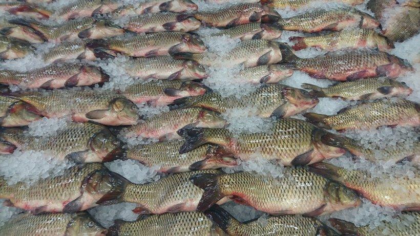 """Dezvăluiri șocante din ancheta privind peștele toxic: """"- Mă, dar cam miroase... - Spală-l cu oţet sau taie-l rondele şi ţine-l la marinat ca să nu miroasă"""""""