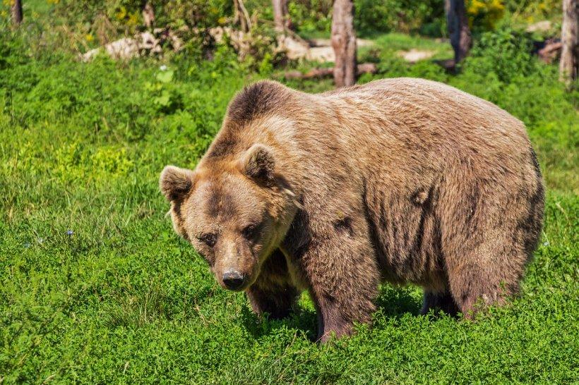 Un cioban din Harghita, atacat de urs în timp ce se afla cu oile la păscut. A ajuns în stare gravă la spital