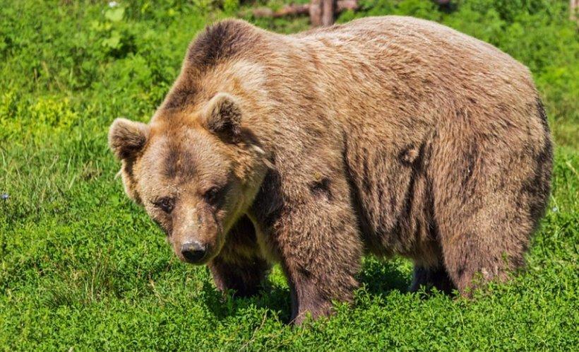 Doi turişti străini au fost atacaţi de urs în Munţii Făgăraş