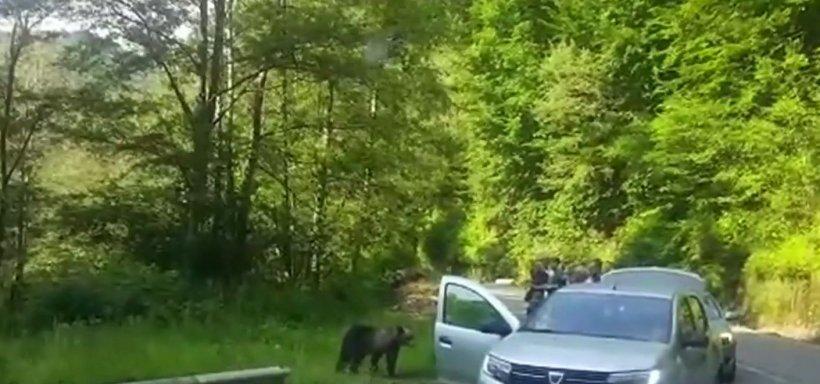 Inconștiență fără margini! Turiștii de la barajul Vidraru s-au apropiat de doi urși flămânzi ca să facă poze