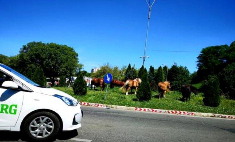 Imagini incredibile au fost surprinse la Cluj. Mai mulţi cai au fost filmați la păscut într-un sens giratoriu