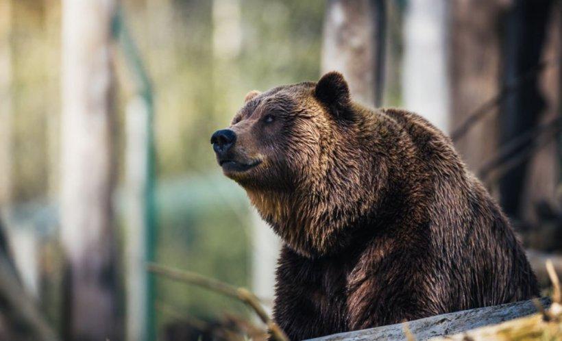 Întâmplare şocantă aproape de Transfăgărăşan. Un urs rănit a murit după ce a agonizat ore în șir