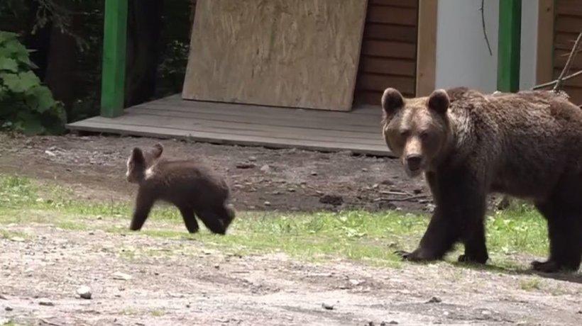 Copiii unei familii din Sibiu, atacaţi de urs. Cum au reuşit să scape din ghearele animalului - VIDEO