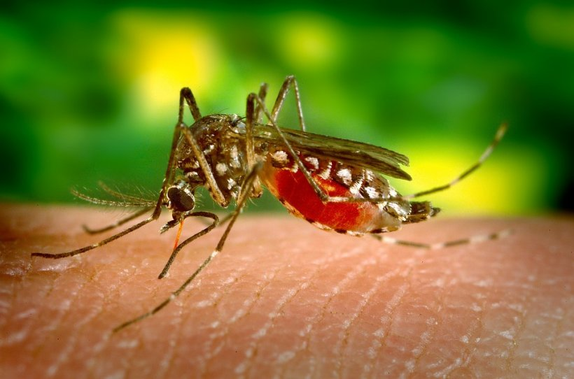 Noi specii de țânțari periculoși în România. Ce trebuie să facem ca să ne protejăm