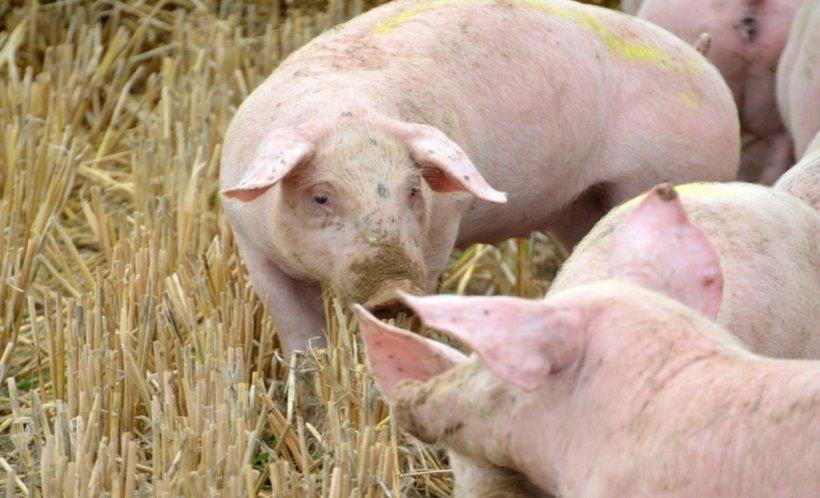 Alertă de pestă porcină în două gospodării din Dâmbovița