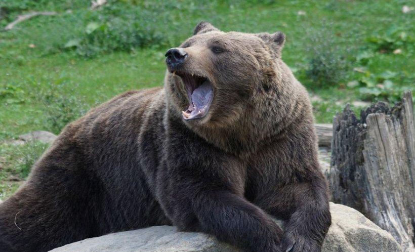 Turist canadian, atacat de urs în Azuga (VIDEO)