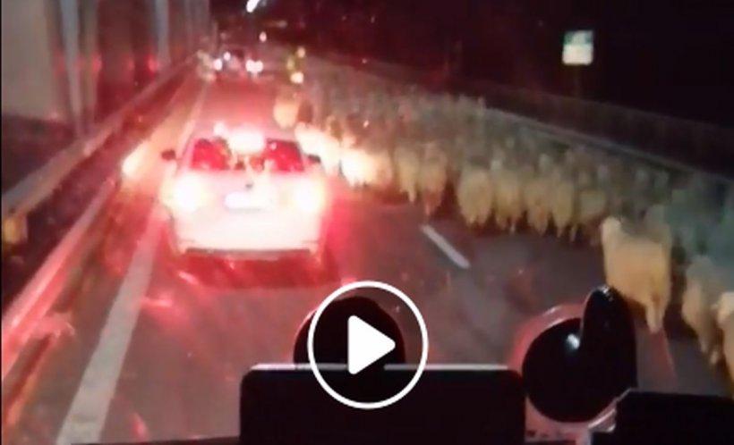 Autostradă blocată de oi. Imagini halucinante pe Autostrada Soarelui - VIDEO