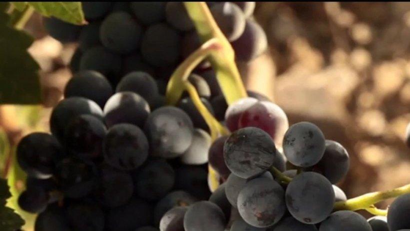 Institutele de cercetare au creat 90 de soiuri de struguri din care ies vinuri de excepţie
