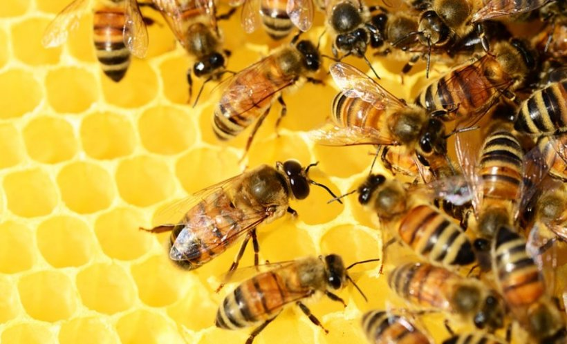 Colonii de albine au murit în masă, în Rusia. Cum explică oamenii de știință fenomenul