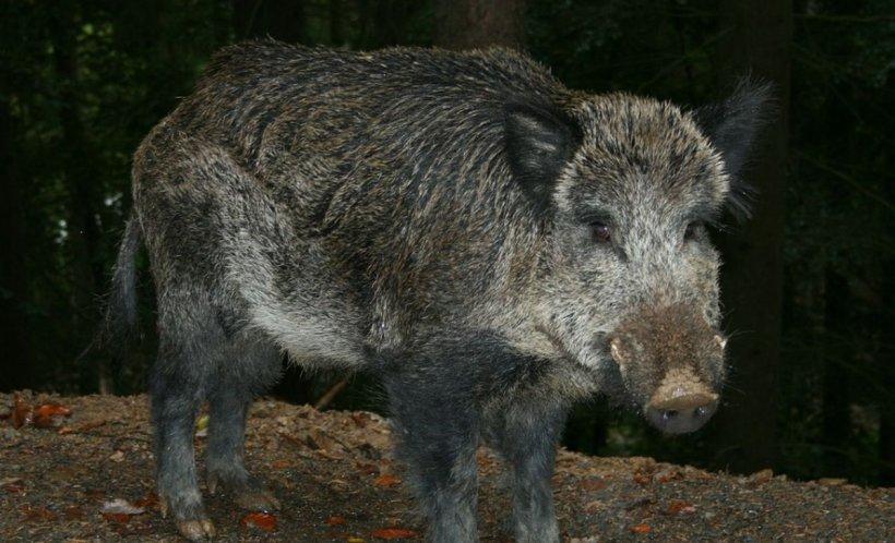 Accident neobişnuit într-o comună din Dâmboviţa, din cauza unui porc mistreţ. Șoferul a fost grav rănit