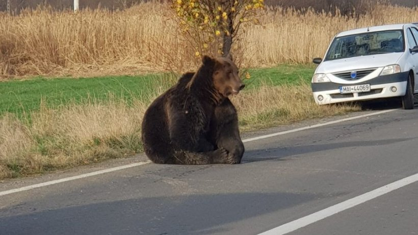 """Prefectul judeţului Harghita spune că a făcut ceea ce a depins de el în cazul ursului accidentat de la Praid: """"Nu am nimic ce să-mi reproşez"""""""