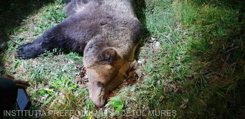 Un alt urs a fost omorât de o mașină, în județul Mureș