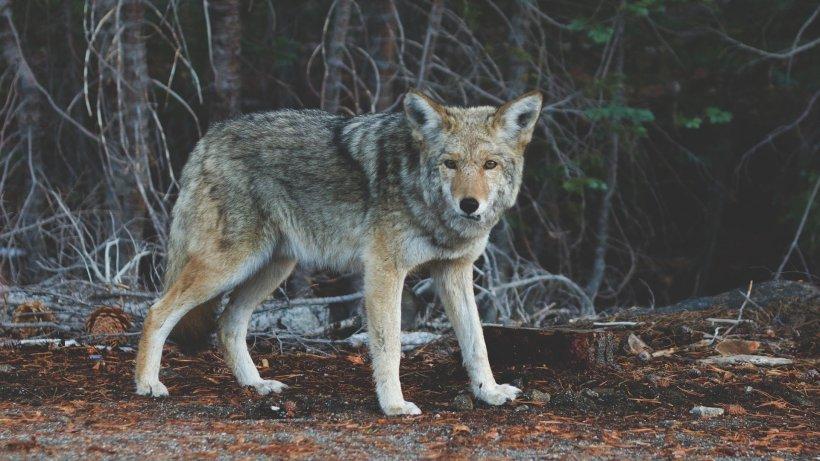 Un lup este suspectat că a mâncat un cangur. În Belgia