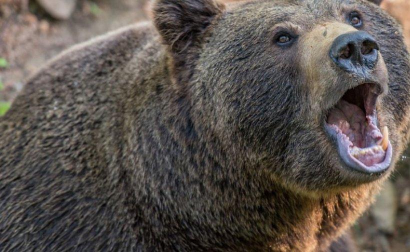 Bărbat în stare gravă, după un atac al unui urs într-o pădure din Argeș