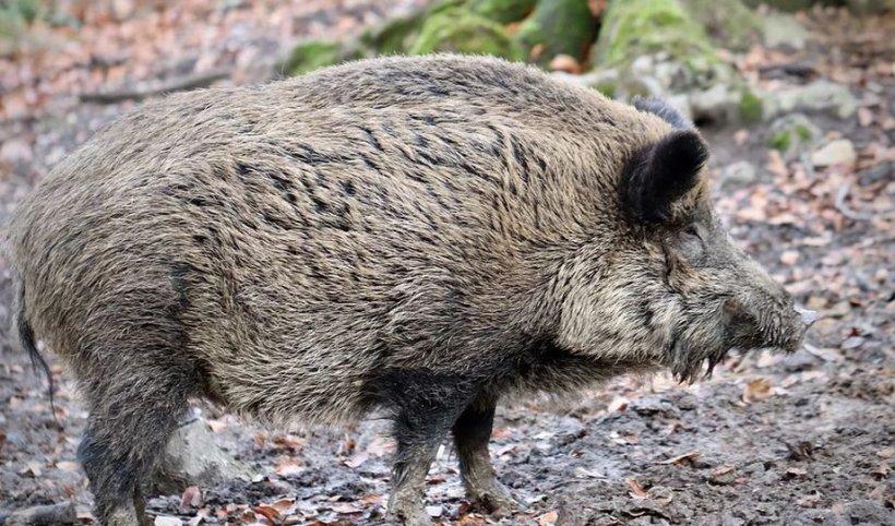 Pesta porcină anulează celebra vânătoare de la Balc