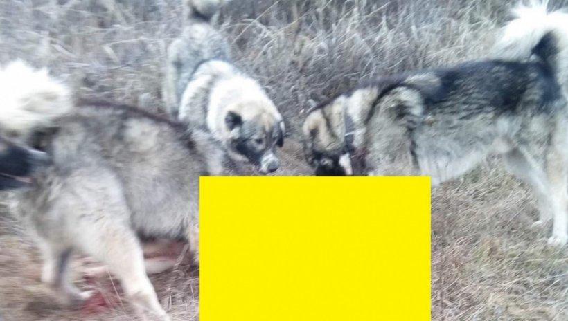 VIDEO. Cruzime fără margini! Câine sfâșiat de viu de trei dulăi carpatini, distracția macabră a unor tineri ciobani
