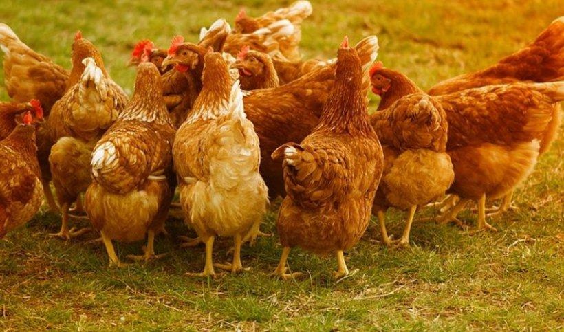 """Consilier al serviciului epidemiologic din ANSVSA, despre gripa aviară: """"Nu trebuie să intrăm în panică"""""""