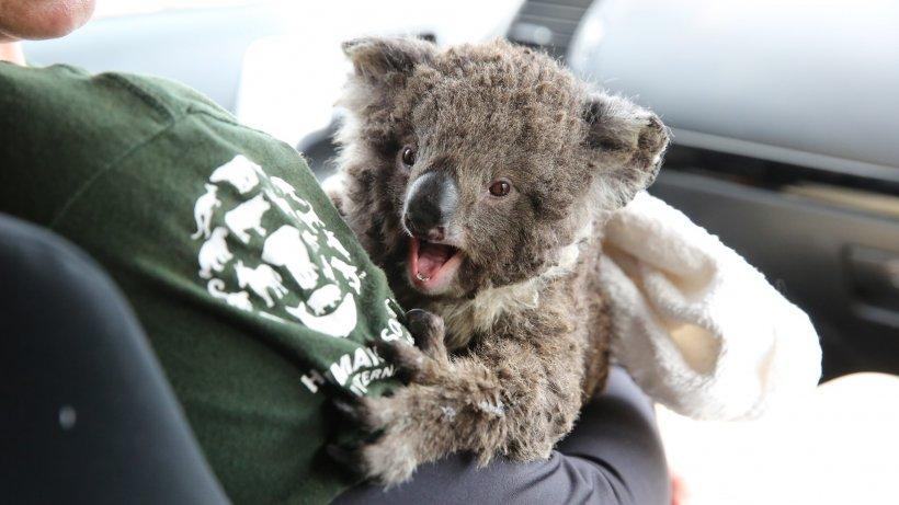 O echipă de voluntari salvează animalele supraviețuitoare ale incendiilor dramatice din Australia (VIDEO)