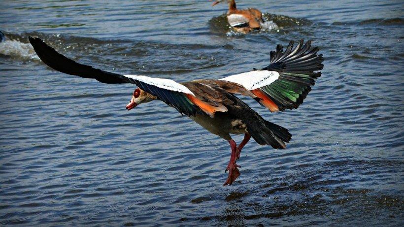 O pasăre rară, protejată de lege, a fost mâncată de un brăilean. Resturile din gâsca cu gât roșu au fost date la câine. Ce riscă acum săteanul