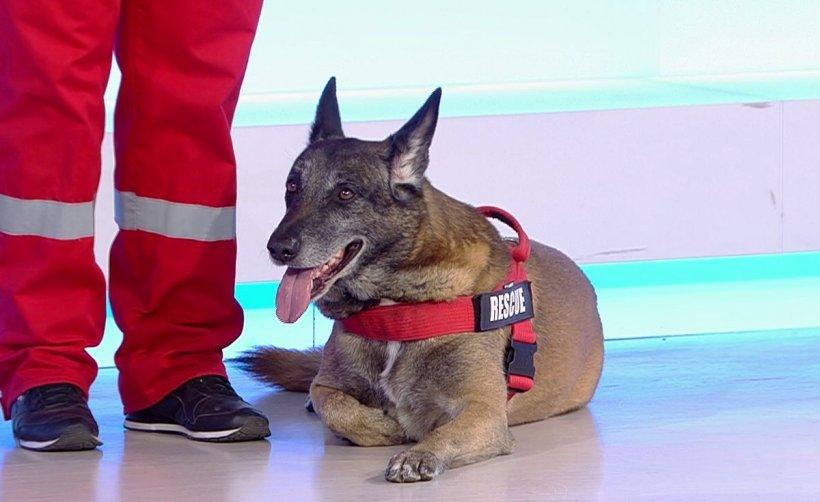 Demonstrație de căutare-salvare în platoul Antena 3. Cățelul Taz, campion mondial, găsește persoanele dispărute în caz de cutremur