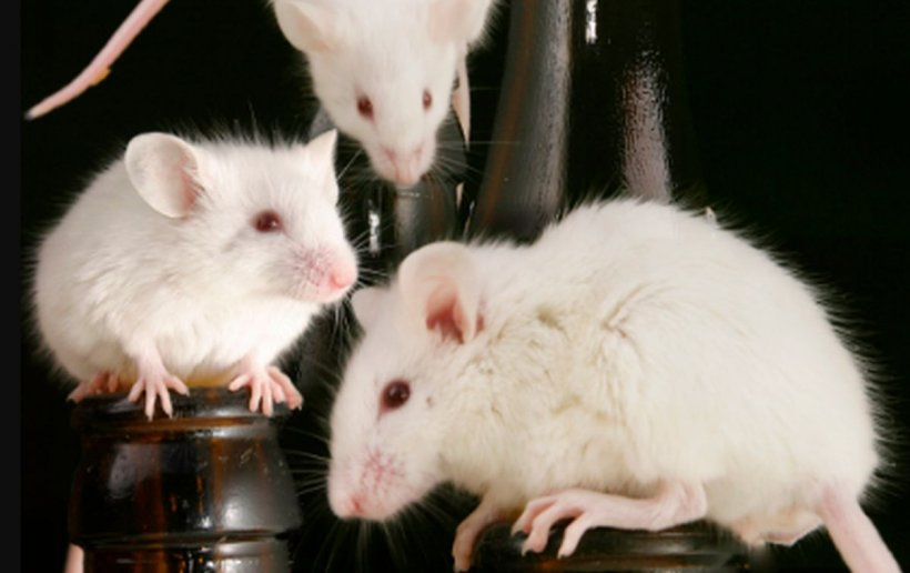 Nu se mai găsesc șoareci de laborator. Dezvoltarea unui vaccin pentru Covid-19 ar putea fi afectată