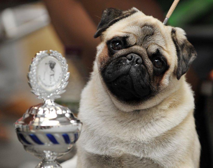 Un mops, primul câine testat pozitiv pentru noul coronavirus