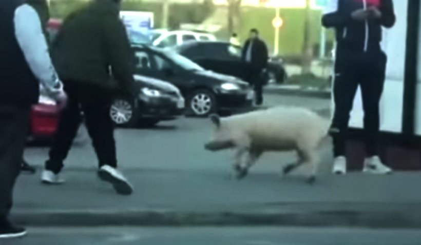 Femeie amendată pentru că a ieșit din curte să prindă un porc, fără declarație, în Satu Mare