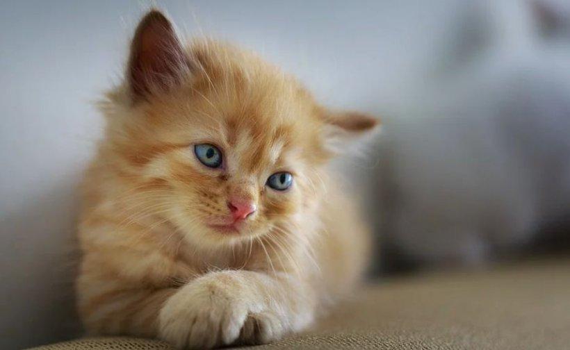 Pisică din Spania, testată pozitiviv cu COVID-19