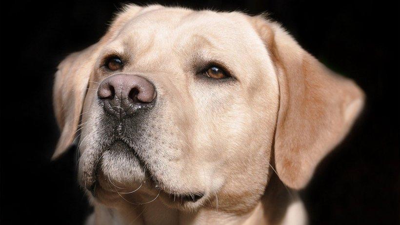 Câini antrenați pentru depistarea coronavirusului în aeroporturi și spitale