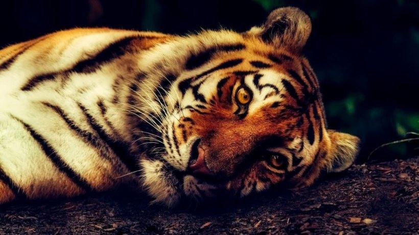 Tigru surprins în timp ce se plimba liber pe o stradă din Mexic
