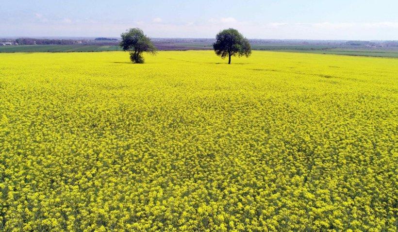 Bani pentru fermierii români care pierd culturile de rapiță din cauza secetei extreme